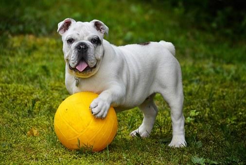 bulldog anglais, bulldog, chien