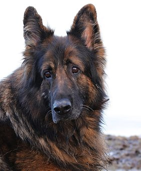 chien, chien schäfer, des animaux