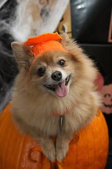 chien, halloween, costume