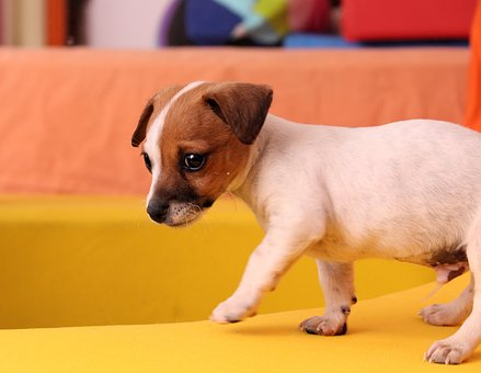 chien, chiot, jack russell