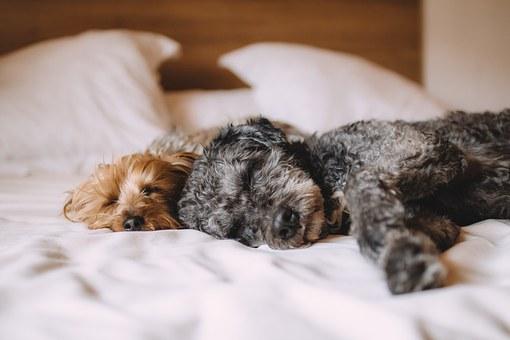 lit, chien, animaux