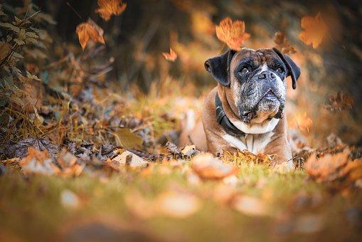chien, boxer, l'automne