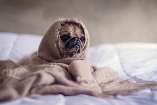 pug chien couverture lit visage des animaux animal de compagnie funny mignon domestiqué expression drôle de chien mammifères pug chien couverture visage funny funny funny funny funny