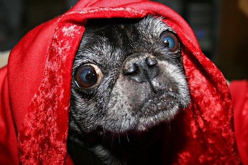 pug, couverture, yeux