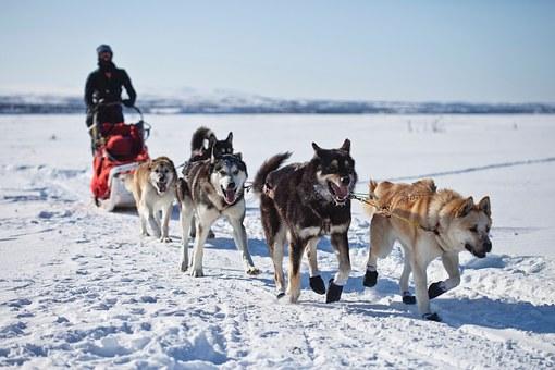 chiens traîneau l'équipe traîneau à chiens travail d'équipe hiver neige alaska husky malamute travail harnais en cours d'exécution alaska alaska alaska husky husky husky husky husky
