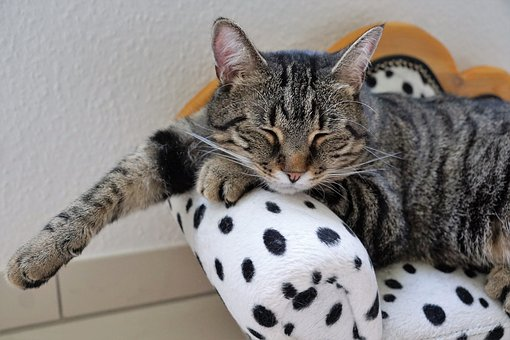 cat, reste, tigre