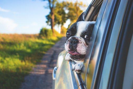 adorable des animaux chien voiture mignon herbe animal de compagnie fenêtre chien chien chien chien chien