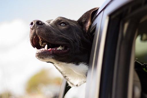 chien, heureux, voiture