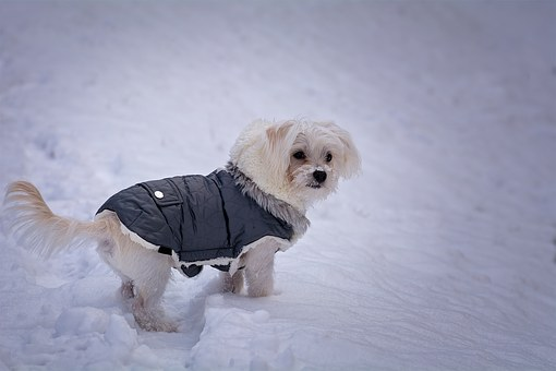 chien, maltais, blanc