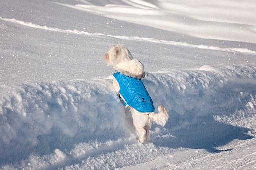 chien, maltais, petit chien
