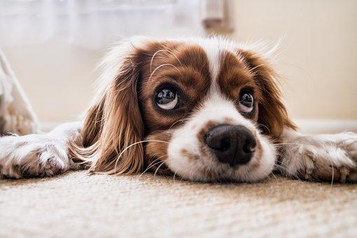 chien, triste, en attente