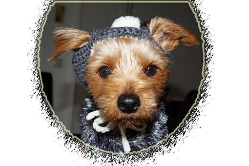 chien, vêtements, yorkshire terriers