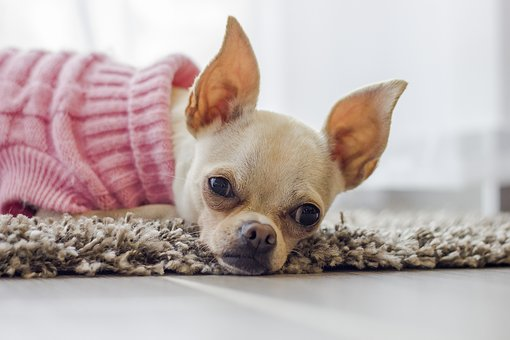 chihuahua, chien, chiot