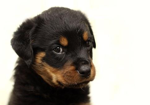 rottweiler, chiot, chien